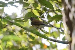 Minas-Gerais_birdwatching_50