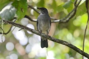 Minas-Gerais_birdwatching_51