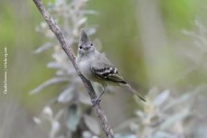 Minas-Gerais_birdwatching_52