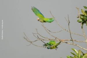Minas-Gerais_birdwatching_54