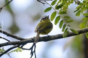 Minas-Gerais_birdwatching_57