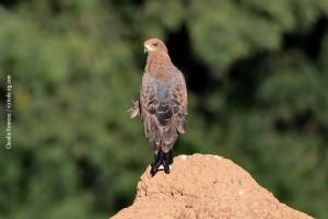 Minas-Gerais_birdwatching_61
