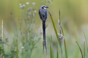 Minas-Gerais_birdwatching_68