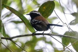 Minas-Gerais_birdwatching_69
