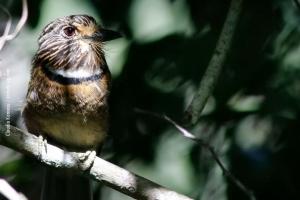 Minas-Gerais_birdwatching_74