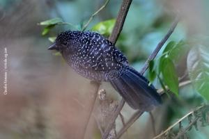 Minas-Gerais_birdwatching_75