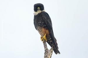 Minas-Gerais_birdwatching_76