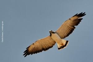 Minas-Gerais_birdwatching_78
