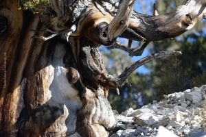 Bristlecone-Pine-Forest_01
