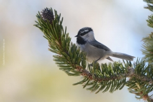 Bristlecone-Pine-Forest_02