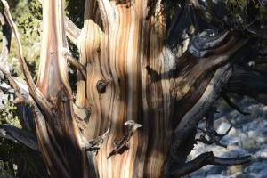 Bristlecone-Pine-Forest_07