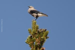 Bristlecone-Pine-Forest_10