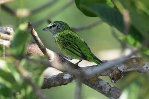 Amazonia_birding_nov2017_05