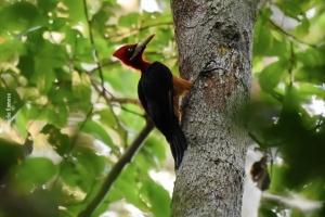 Amazonia_birding_nov2017_10