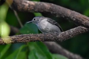 Amazonia_birding_nov2017_14