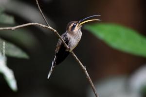 Amazonia_birding_nov2017_16