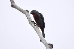 Amazonia_birding_nov2017_21