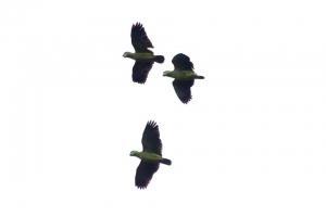 Amazonia_birding_nov2017_23