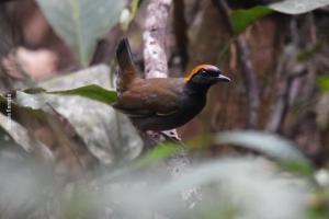 Amazonia_birding_nov2017_25