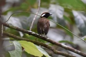 Amazonia_birding_nov2017_27