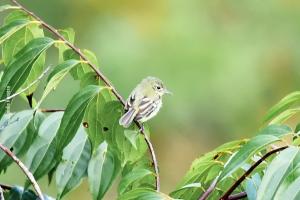 Amazonia_birding_nov2017_35