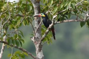 Amazonia_birding_nov2017_38