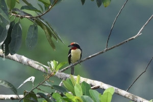 Amazonia_birding_nov2017_40