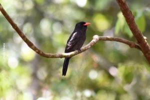 Amazonia_birding_nov2017_41