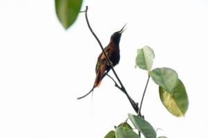 Amazonia_birding_nov2017_44