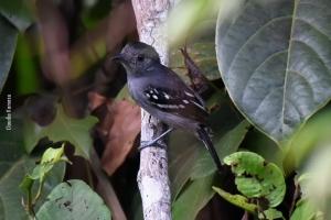Amazonia_birding_nov2017_45