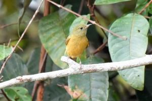 Amazonia_birding_nov2017_47
