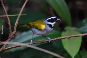 Amazonia_birding_nov2017_48