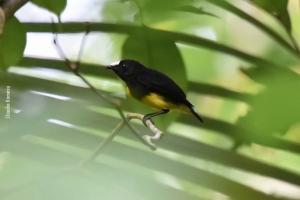 Amazonia_birding_nov2017_50
