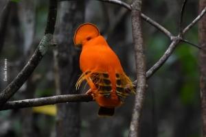 Amazonia_birding_nov2017_52
