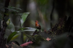 Amazonia_birding_nov2017_55