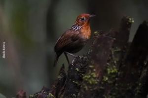 Amazonia_birding_nov2017_56