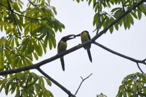 Amazonia_birding_nov2017_59