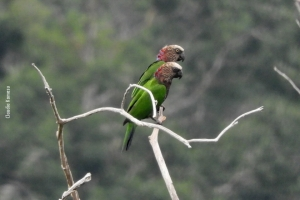 Amazonia_birding_nov2017_64