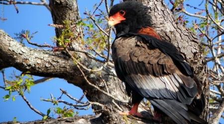 África do Sul – Aves de rapina