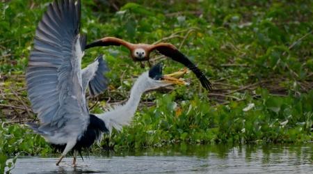 Monotemáticas: garça-moura x gavião-belo