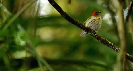 Viagem: Cachoeiras de Macacu – Serra dos Tucanos e REGUA. Em busca do tangará-rajado, dez/08