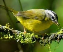 Passeio: Muitas aves em São Luís do Paraitinga e em Ubatuba, maio/09