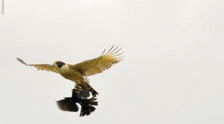 Monotemáticas: acauã x angry birds