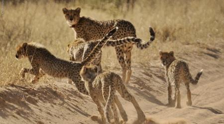 Monotemáticas: guepardos
