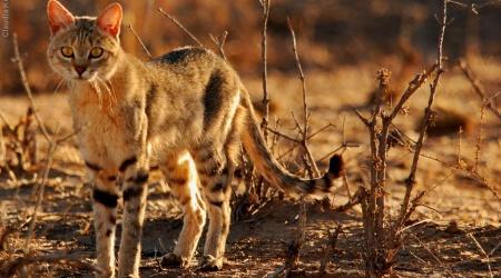 Monotemáticas: gato-selvagem-africano