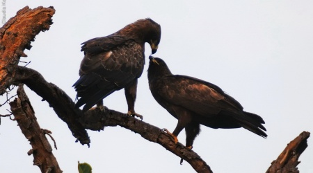 Monotemáticas: Tawny Eagle namorando