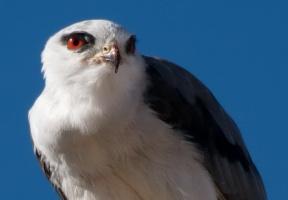 Álbuns de fotos: aves de rapina