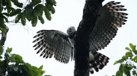 Monotemáticas: Harpia – ou gavião-real