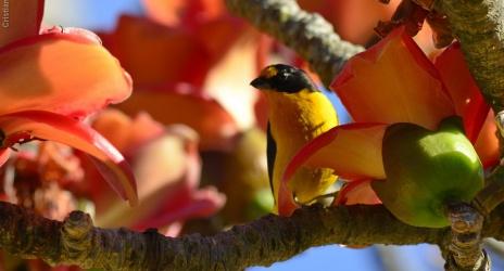 Passeio: Itu e Salto – SP. Árvore enfeitada de flores e passarinhos. Jaçanãs na contraluz, ago/12